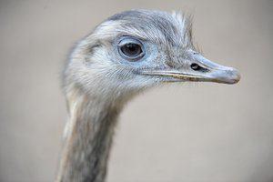 Struisvogelbiefstuk met pittige gemberboter