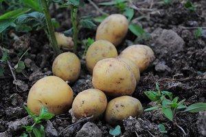 Aardappellinten