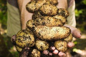 Aardappel artisjok gratin