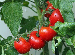 Tomatenbrood met geitenbrie